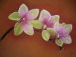 Aleponautes-Orchidées-150x112