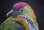 tete-de-pigeon-ptilote-150x102